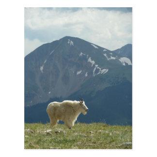 Chèvre de montagne sur le grand clivage carte postale