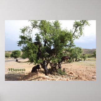Chèvres dans les arbres - arbres d'argan, Maroc Poster