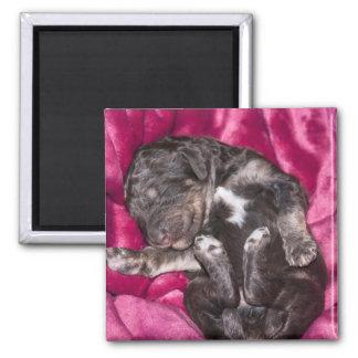 Chiot adorable de caniche de sommeil aimant