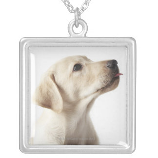 Chiot blond de Labrador collant la langue Collier