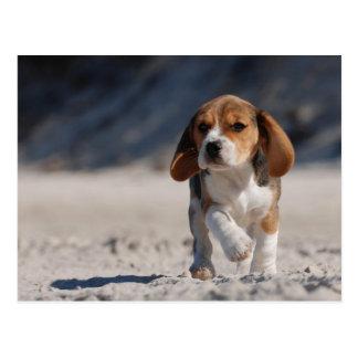 Chiot de beagle cartes postales