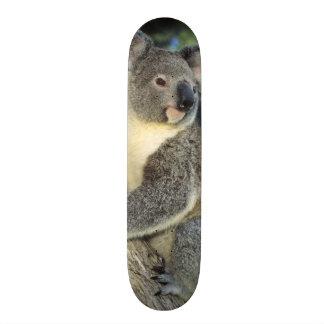 Cinereus de koala, de Phascolarctos), l'Australie, Planches À Roulettes Customisées