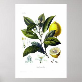 Citrus Limonum (citron)