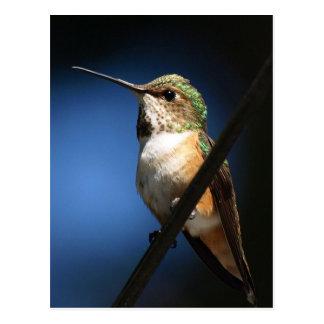 Colibri Rufous - cartes postales