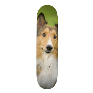 Colley rugueux, chien, animal skateboard
