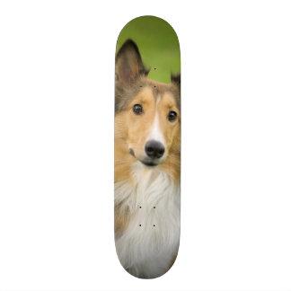 Colley rugueux, chien, animal planches à roulettes