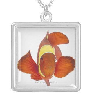 Collier anemonefish d'Épine-joue (biaculeatus de Premnas)