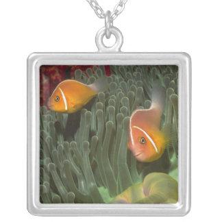 Collier Anemonefish rose dans l'actinie de Magnificant