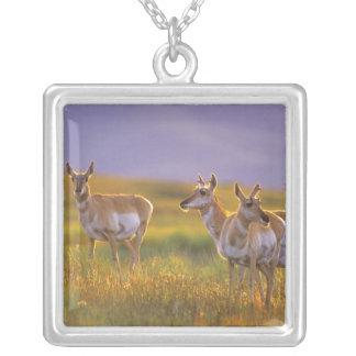 Collier Antilope de Pronghorn au Montana