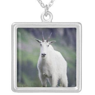 Collier Chèvre de montagne, Oreamnos américanus, adulte