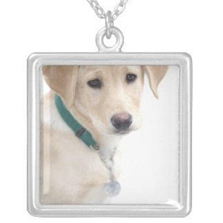 Collier Chiot de labrador retriever, M.)