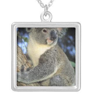 Collier Cinereus de koala, de Phascolarctos), l'Australie,