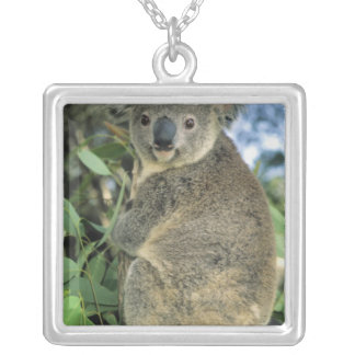 Collier Cinereus de koala, de Phascolarctos), mis en