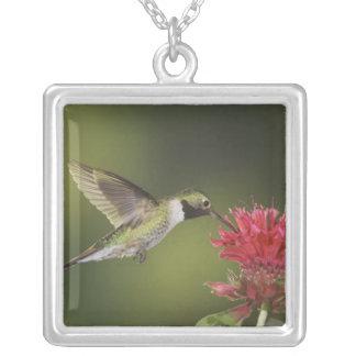 Collier colibri Large-coupé la queue, Selasphorus 2
