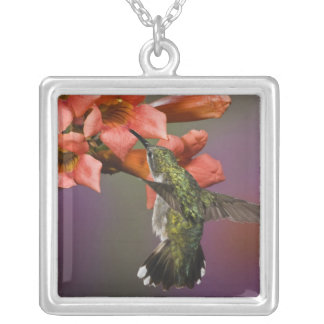 Collier Colibri Throated rouge femelle en vol,