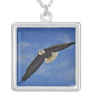Collier Eagle chauve en vol, leucocephalus de Haliaetus,