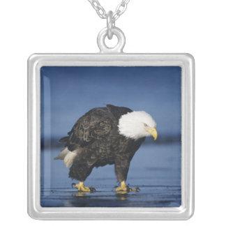 Collier Eagle chauve, leucocephalus de Haliaeetus, adulte