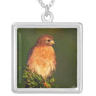 Collier faucon Rouge-épaulé (lineatus de Buteo) dedans tôt