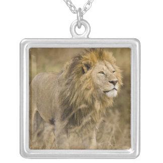 Collier L'Afrique. La Tanzanie. Lion masculin chez