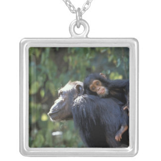 Collier L'AFRIQUE, Tanzanie, Gombe NP, chimpanzés.