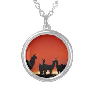 Collier Lamas au coucher du soleil sur les prairies