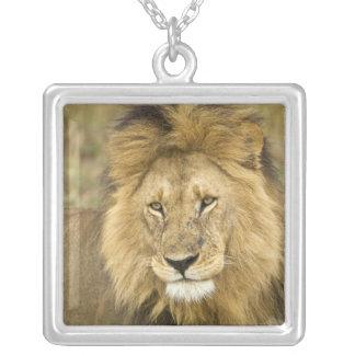 Collier Le Kenya, masai Mara. Plan rapproché de lion.