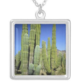 Collier Le Mexique, Sonora, São Carlos. Tuyau de Saguaro