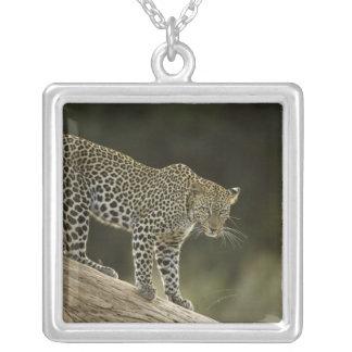 Collier Léopard africain, pardus de Panthera, dans un