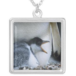 Collier Les Îles Falkland. Poussin de pingouin de Gentoo à