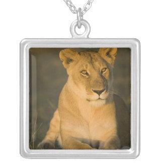 Collier Lion africain, Panthera Lion, au lever de soleil.