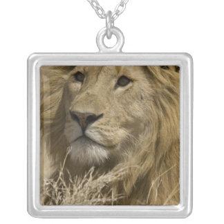 Collier Lion africain, Panthera Lion, portrait d'a