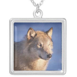 Collier loup gris, lupus de Canis, dans les collines des 2
