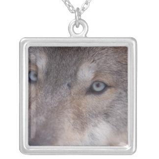 Collier loup gris, lupus de Canis, dans les collines du