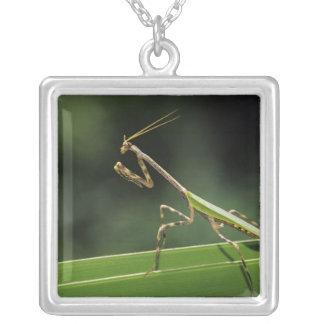 Collier Mantid, Mantidae, adulte sur la fronde de paume,