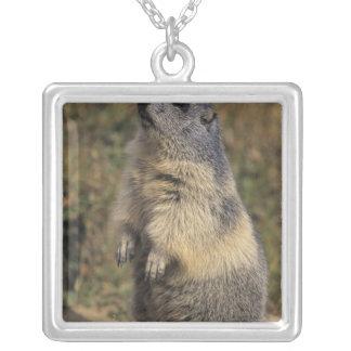 Collier Marmot alpin, marmota de Marmota, position adulte