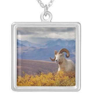 Collier moutons de dall, dalli d'Ovis, RAM se reposant sur