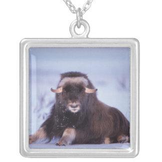 Collier muskox, moschatus d'Ovibos, jeune taureau sur