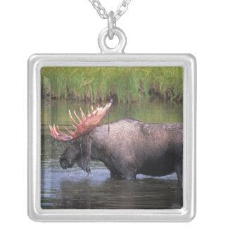 Collier orignaux, taureau dans un étang de bouilloire et