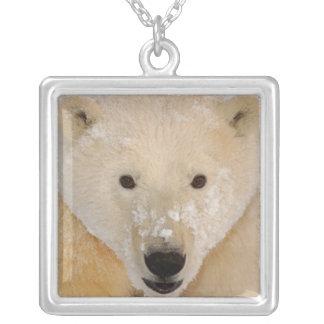 Collier ours blanc, maritimus d'Ursus, fin d'un petit