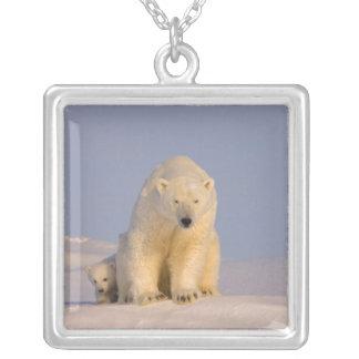 Collier ours blanc, maritimus d'Ursus, truie avec
