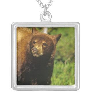Collier Ours noir juvénile aux lacs Waterton nationaux