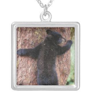 Collier ours noir, Ursus américanus, petit animal dans