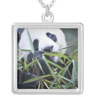 Collier Panda mangeant des pousses de bambou Alluropoda