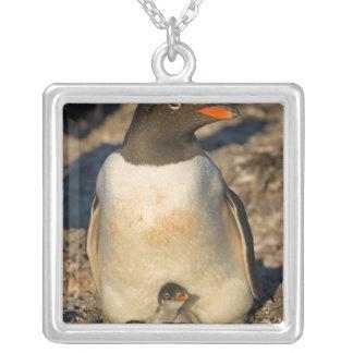 Collier pingouin de gentoo, Pygoscelis Papouasie, avec