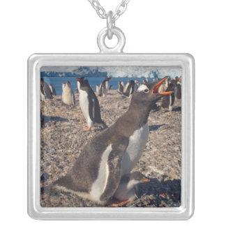Collier pingouin de gentoo, Pygoscelis Papouasie, avec le