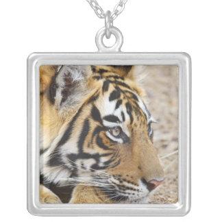 Collier Portrait de tigre de Bengale royal, Ranthambhor 3