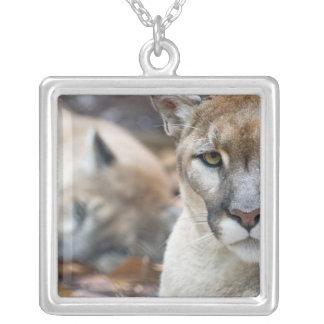 Collier Puma, puma, panthère de la Floride, puma 2