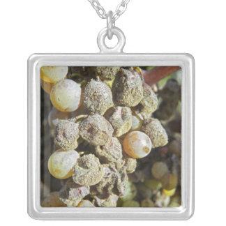 Collier Raisins de Semillon avec la putréfaction noble. au