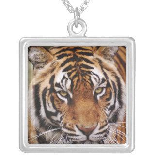 Collier Tigre de Bengale, Panthera le Tigre