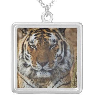 Collier Tigre de Bengale, Panthera zoo du Tigre,